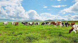 Sữa non New Zealand lấy từ sữa của đàn bò ăn cỏ tự nhiên